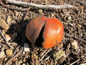 pomegranate close-up2 5-1-14