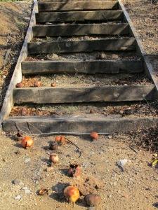 pomegranates fallen on tennis steps 5-1-14