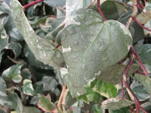 raindrops on ivy 3-1-14
