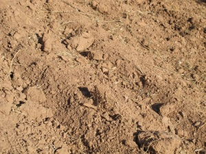 soil in ploughed olive grove, thyme track 25-8-13