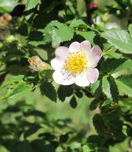 wild rose 28-4-11