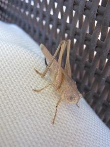 1 big grasshoppper 23-7-13