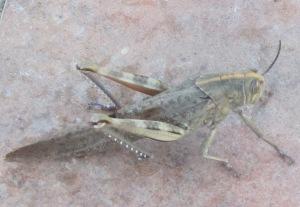 2 huge grasshopper 14-7-11
