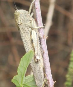 3 grasshopper on branch 25-9-11