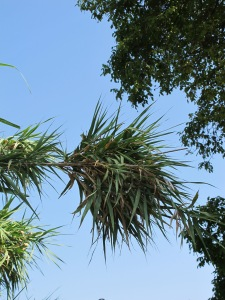 bamboo baby against blue sky 27-8-13