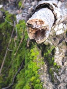 gnarled bark and moss1 26-3-13