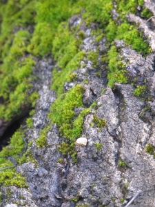 gnarled bark and moss2 26-3-13