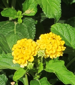 lantana yellow 12-7-11