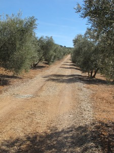looking up the track through the olives 12-10-13