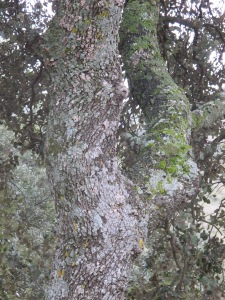 oak and pale green lichen1 26-3-13