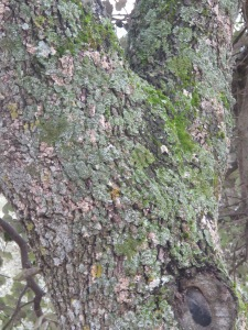 oak and pale green lichen2 26-3-13