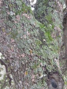 oak and pale green lichen2 26-3-13