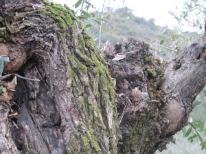 olive tree & moss2 26-3-13