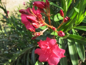 pink elfa - close-up 27-8-13