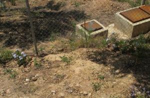 potato vine by the septic tank 28-5-2010