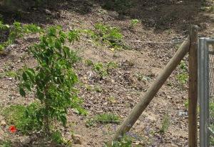 russian vine at bottom of tennis steps 28-5-10
