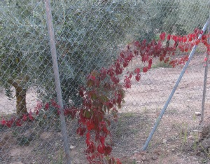 russian vine down the track fence 17-10-10