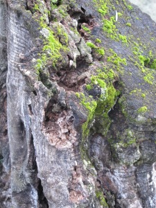 tree stump with moss1 26-3-13