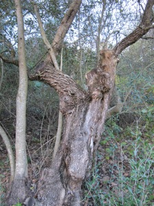 an old tree1 11-3-14