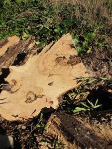 cut olive trees2 15-3-13