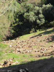 cut olive trees3 15-3-13