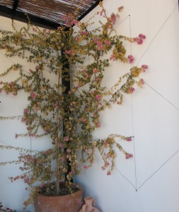 dead bougainvillea under pergola 9-3-12