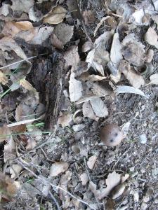 leaves & oak gall 11-3-14