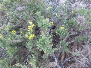 only gorse flowering - +romero + vinca 11-3-14