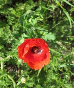poppy1 28-4-11 (2)