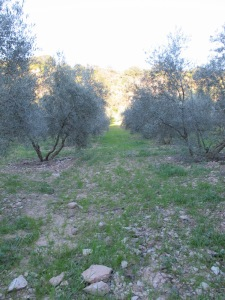 weeds in the olive grove 11-3-14