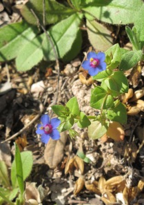 #12 blue wildflower - close-up 28-4-11