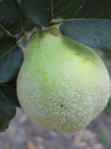 #16 quince close-up 27-8-13