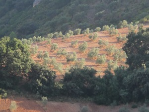 #18 young olive grove 26-8-13 (2)