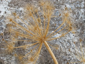 #20 dried fennel flowerhead against rockface 27-8-13