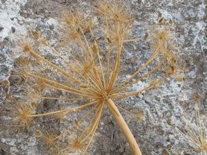 #20 dried fennel flowerhead against rockface 27-8-13