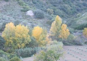 autumn gold, the poplars in nov 2-11-10