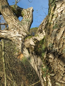 crackly bark1 26-3-13