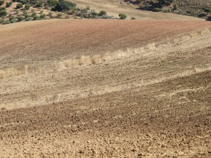 dried golden soil in thin parcelas2 - road Canete to A367 12-10-13