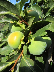 green persimmon turning gold 17-8-13