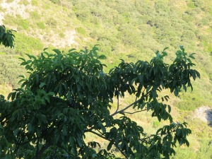 morning sun on the hillside & walnut in shadow 7-8-13