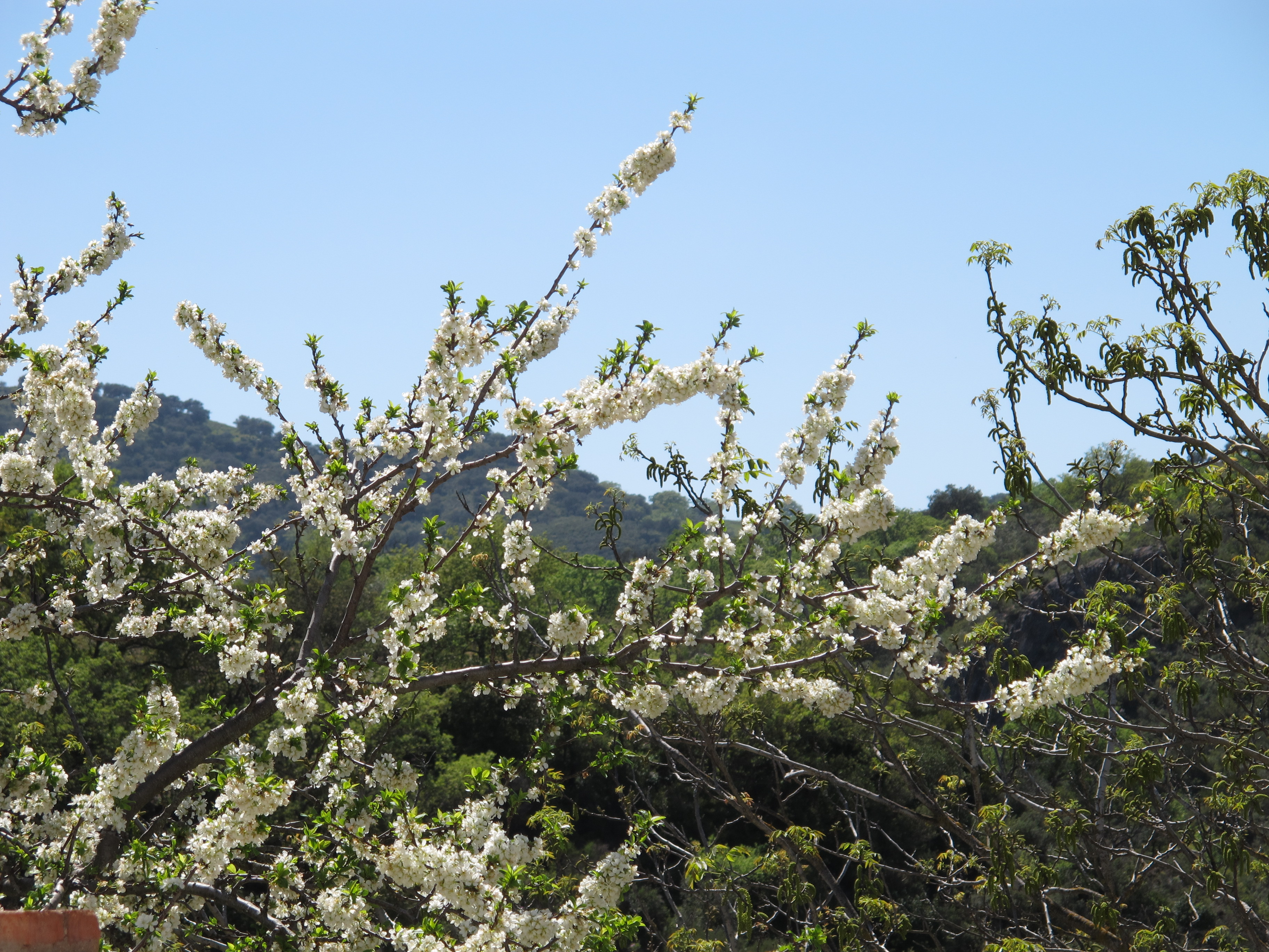 Fluffy White Plum Blossom Notes On A Spanish Valley