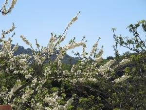plum blossom1 16-4-13