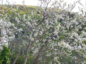 plum blossom1 18-4-13