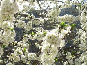 plum blossom2 16-4-13
