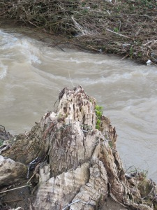 tree stump beside river2 26-3-13