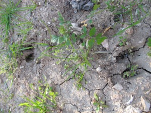 wild boar footprint3 10-3-14