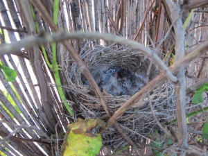 babies in nest1 10-5-14