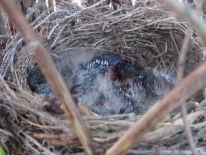 babies in nest2 10-5-14