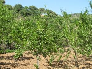 the almond field1 8-5-14