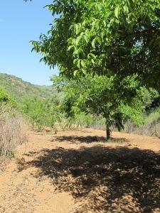 the almond field2 8-5-14